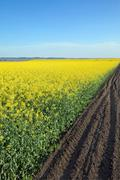 Blooming canola field in spring - stock photo