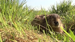 Young european hare very close Stock Footage