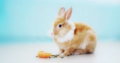 Rabbit eating on a white blue background 4k Stock Footage