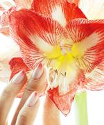 Beauty delicate hands with pink Ombre design manicure holding red flower Stock Photos