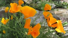 Yellow flowers swaying over the rocks Stock Footage
