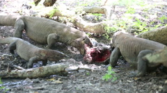 Komodo dragon eats a young buffalo. Rinca Island, Indonesia Stock Footage