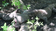Komodo dragon eats a young buffalo. Rinca Island, Indonesia Stock Footage