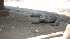 Komodo Dragon, the largest lizard in the world, Rinca Island, Indonesia. Stock Footage
