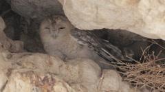 Desert tawny owl Stock Footage