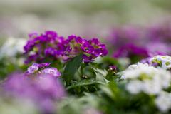 Close up of pretty pink, white and purple Alyssum flowers,  the Cruciferae Stock Photos