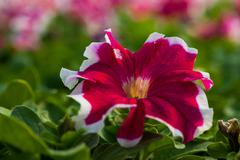 Beautiful Petunia  flower close-up on a background of green foliage - stock photo
