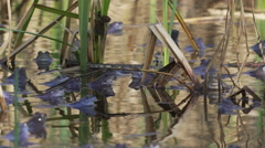 Moor Frogs Mating with nice reflection, Slow motion Stock Footage
