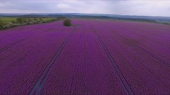 Aerial Drone fly over purple agricultural field - bird view Stock Footage