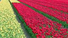 Spring Tulip Fields in Holland Stock Footage