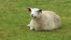 Sheep eating grass Stock Footage
