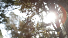 Sun shining through juniper tree Stock Footage