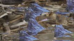 Blue frogs waiting in the pond Stock Footage