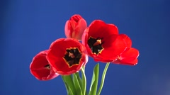 Red tulips blooming on a blue background. Time-lapse. Chromakey. Stock Footage