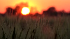 4K Timelapse Wheat Ear Harvest in Sunset, Sun Ray View in Agriculture Field Stock Footage