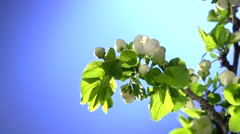 A plum flowers blossoming time lapse on a blue background. Stock Footage