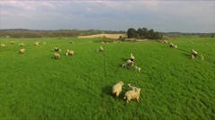 Aerial Drone flight over running sheeps on green meadow Stock Footage