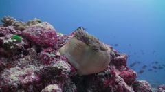 Anemones and clown fish. Maldives. - stock footage
