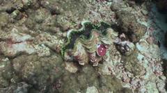 Clam Tridacna maxima. Underwater marine life. Stock Footage