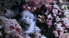 Blackspotted puffer fish pufferfish. Close up. Stock Footage