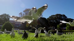 Seagulls compete for food with one catching it in mid air. Slow Motion 120 fps - stock footage