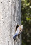Female Western Bluebird Stock Photos
