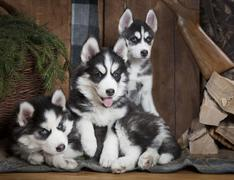 Puppies of Siberian Husky dog - stock photo