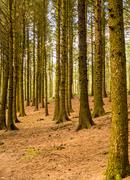 Pine woodland at Beacon Fell Country Park, Lancashire, UK - stock photo