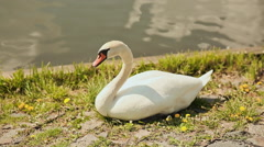 White swan standing on grass shore besides river Stock Footage