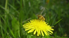 A bee collecting nectar from dandelion, and then fly away, slow motion - stock footage