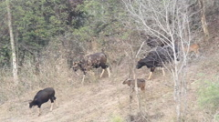 Gaur, Indian bison (Bos gaurus) and their families, eating grass in the forests Stock Footage
