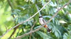 Red-whiskered bulbul (Pycnonotus jocosus) in the tropical forests of Thailand Stock Footage