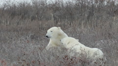 Polar bears playing in the snow Stock Footage