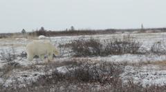 Polar bear lying on the snow - stock footage