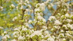 Blossom apple over nature background, spring flowers Stock Footage