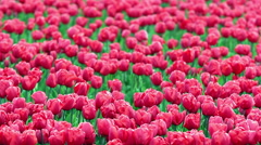 Flower Bed Of Red Tulips - stock footage
