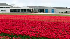 Tulip Fields in Holland Stock Footage