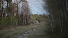 Elk in the wild taiga. - stock footage