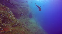 Great diving with the sharks at the rocks of ROCA Partida. Stock Footage