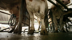 Milk production. Milking of cows by using modern milking machine. Stock Footage