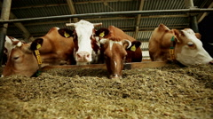 Livestock farming. Dairy cows eating nutritious fodder standing in the stall - stock footage