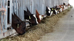 The breeding of cows. Calves eating nutritious fodder standing in the stall Stock Footage