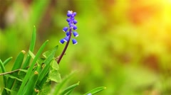Muscari is genus of perennial bulbous plants Stock Footage