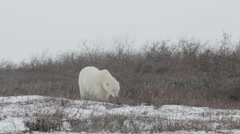 Polar bear walking in the storm Arkistovideo