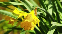 Narcissus pseudonarcissus (Lent lily) - stock footage