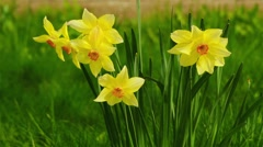 Narcissus poeticus (poet daffodil) Stock Footage