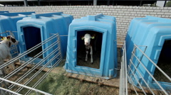 The rearing of calves. The contents of the young calves in individual lodges. Stock Footage