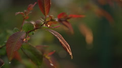 Drops of a Rain Fall on Rose Leaves in Beams of the Evening Sun - stock footage