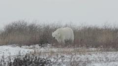 Polar bear walking in the storm - stock footage