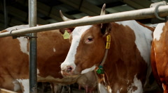 Livestock farming. Dairy cows eating nutritious fodder standing in the stall Stock Footage